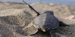 """Deniz kaplumbağaları Mavi'yle buluşmaya devam ediyor: """"İndigo Turtles"""""""